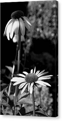 Canvas Print featuring the photograph Coneflowers Standing Tall   by James C Thomas