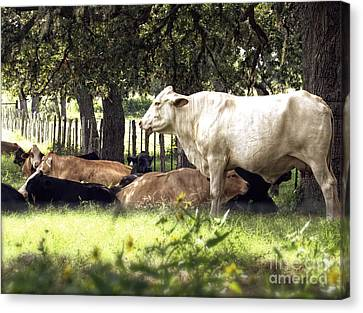 Standing Watch Cattle Photographic Art Print Canvas Print by Ella Kaye Dickey