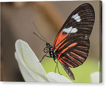 Standup Butterfly Canvas Print