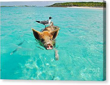 Staniel Cay Swimming Pig Seagull Fish Exumas Canvas Print