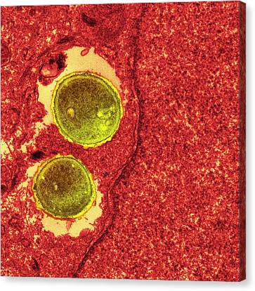 Staphylococcus Aureus Bacteria Canvas Print by Ami Images