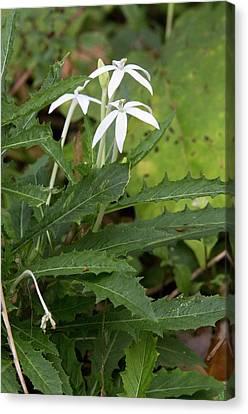 Star Flower (hippobroma Longiflora) Canvas Print by Bob Gibbons