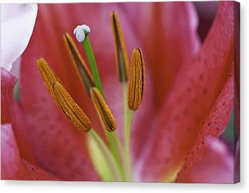 Star Gazer Lilly Macro Canvas Print by Lesley Rigg