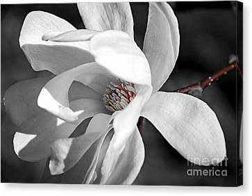 Star Magnolia Flower Canvas Print by Elena Elisseeva