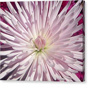 Starburst  Canvas Print by Aimee L Maher Photography and Art Visit ALMGallerydotcom
