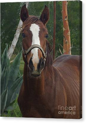 Canvas Print featuring the photograph Stared Down by Peter Piatt