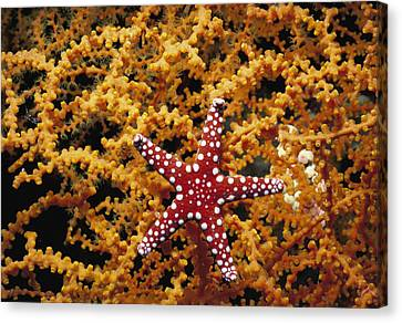 Starfish Feeding On Coral In The Red Sea Canvas Print by Jeff Rotman