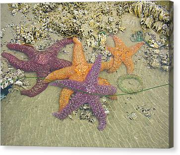 Canvas Print featuring the photograph Starfish Love-oregon Coast by Cheryl Perin