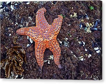 Starfish - Oregon Coastline Canvas Print by George Bostian