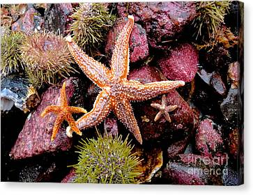 Canvas Print featuring the photograph Starfish by Sarah Mullin