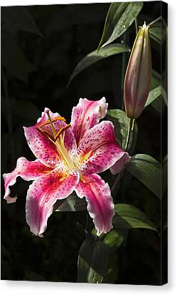 Stargazer Bloom And Bud Canvas Print