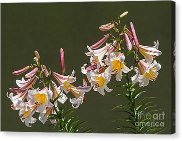 Canvas Print featuring the photograph Stargazer Lilies by Dale Nelson