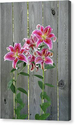 Stargazer Lily By Rustic Fence Canvas Print by Anna Miller
