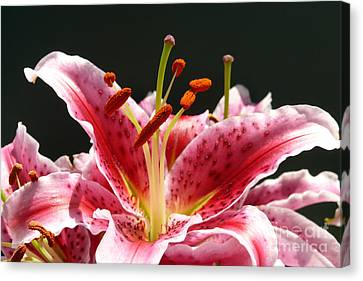 Stargazer Lily Canvas Print by Maria Janicki