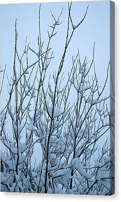 Stark Beauty - Snow On Branches Canvas Print by Denise Beverly
