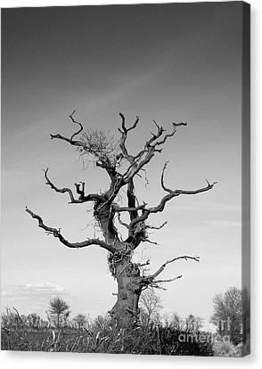 Stark Tree Canvas Print by Pixel Chimp