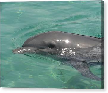 Starlett Dolphin Posing Canvas Print by Mary J Tait