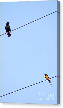 Starling And Swallow Canvas Print by Tim Holt