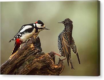 Starling And Woodpecker Stand Off Canvas Print