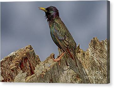 Starling In Breeding Plumage Canvas Print by Anne Rodkin