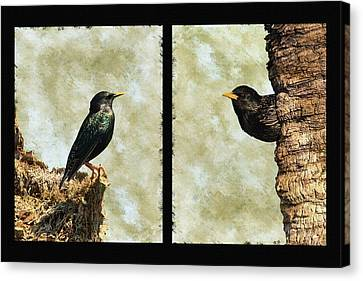 Starling Pair Canvas Print by Dawn Currie