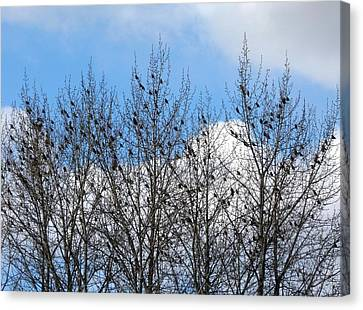 Starlings In The Cottonwoods Canvas Print by Will Borden