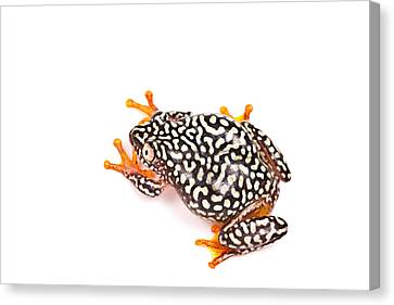 Starry Night Reed Frog Canvas Print by David Kenny