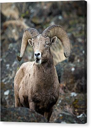 Canvas Print featuring the photograph Startled Ram by Steve McKinzie