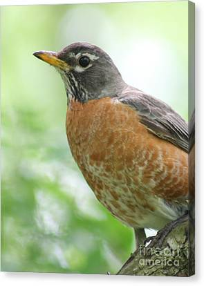 Canvas Print featuring the photograph Stately Robin by Anita Oakley