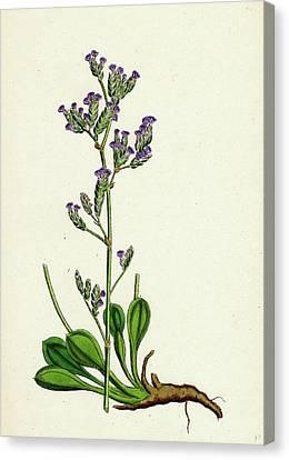 Statice Binervosa Var. Dodartii Lesser Sea-lavender Var Canvas Print