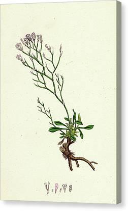 Statice Caspia Matted Sea-lavender Canvas Print