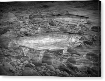 Steelhead Trout Migration Canvas Print by Randall Nyhof