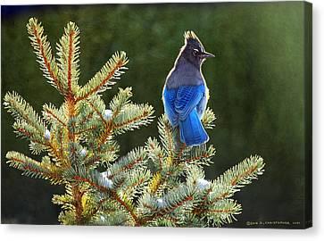 Stellar Jay On Spruce Canvas Print by R christopher Vest