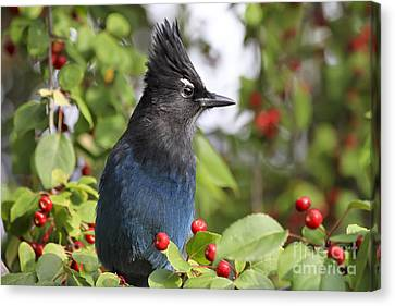 Steller's Jay And Red Berries Canvas Print