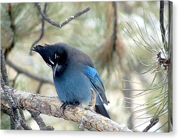 Steller's Jay Looking Down Canvas Print by Marilyn Burton