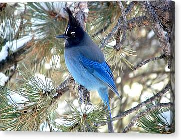 Steller's Jay Profile Canvas Print by Marilyn Burton