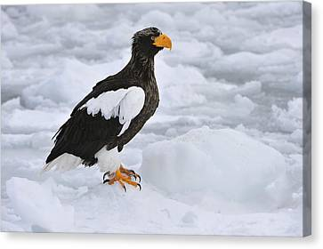 Stellers Sea Eagle Hokkaido Japan Canvas Print by Thomas Marent
