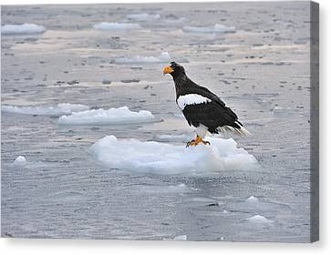 Stellers Sea Eagle On Ice Floe Hokkaido Canvas Print