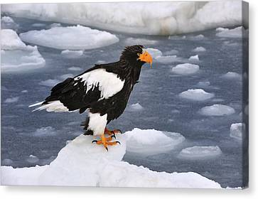 Stellers Sea Eagle On Ice Hokkaido Japan Canvas Print by Thomas Marent