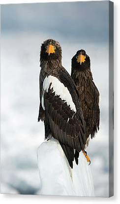 Steller's Sea Eagles Canvas Print by Dr P. Marazzi