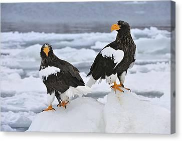 Stellers Sea Eagles Hokkaido Japan Canvas Print by Thomas Marent