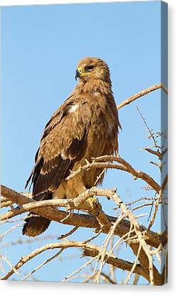 Steppe Eagle (aquila Nipalensis) Canvas Print by Photostock-israel