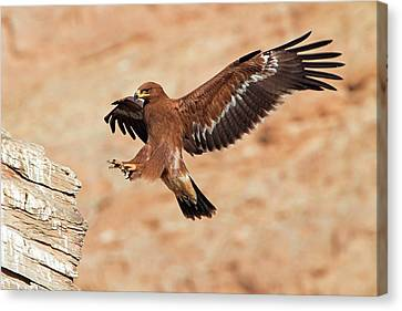 Steppe Eagle Landing Canvas Print by Bildagentur-online/mcphoto-schaef