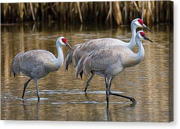 Steppin Out Canvas Print by Randy Hall