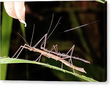 Stick Insects Mating Canvas Print