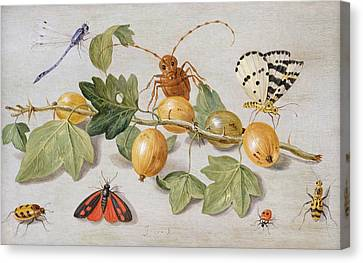 Still Life Of Branch Of Gooseberries Canvas Print by Jan Van Kessel