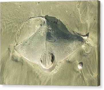 Sting Ray Canvas Print by Peter-hugo Mcclure