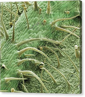 Stinging Nettle Canvas Print by Natural History Museum, London