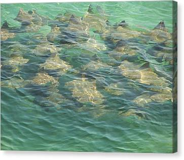 Canvas Print featuring the photograph Stingray A by Michele Kaiser