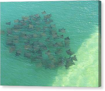 Canvas Print featuring the photograph Stingray B by Michele Kaiser